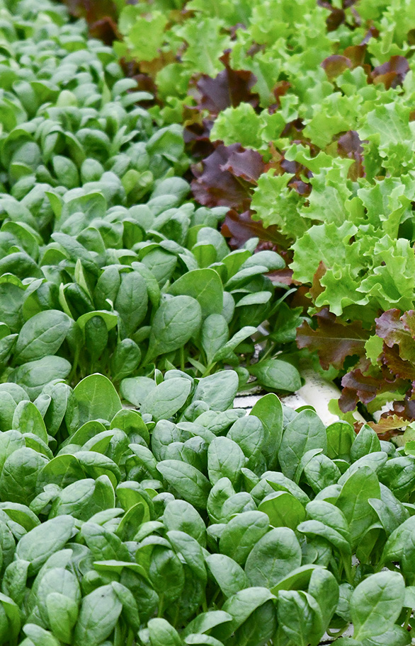 BrightFarms Hydroponic Farm in Wilmington Ohio | Spinach | Spring Mix | Lettuce Blend | Local Baby Greens | Hydroponic | CEA | Grown Indoors