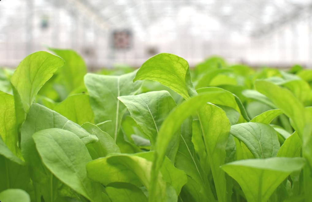 BrightFarms Arugula | Hydroponic | Grow Board | Greenhouse | Sunshine | CEA | Grown Indoors