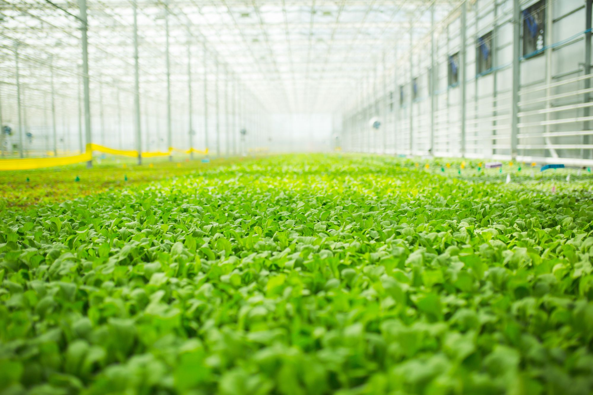 BrightFarms Greenhouse Hydroponic Field of Spinach Arugula | CEA | Grown Indoors