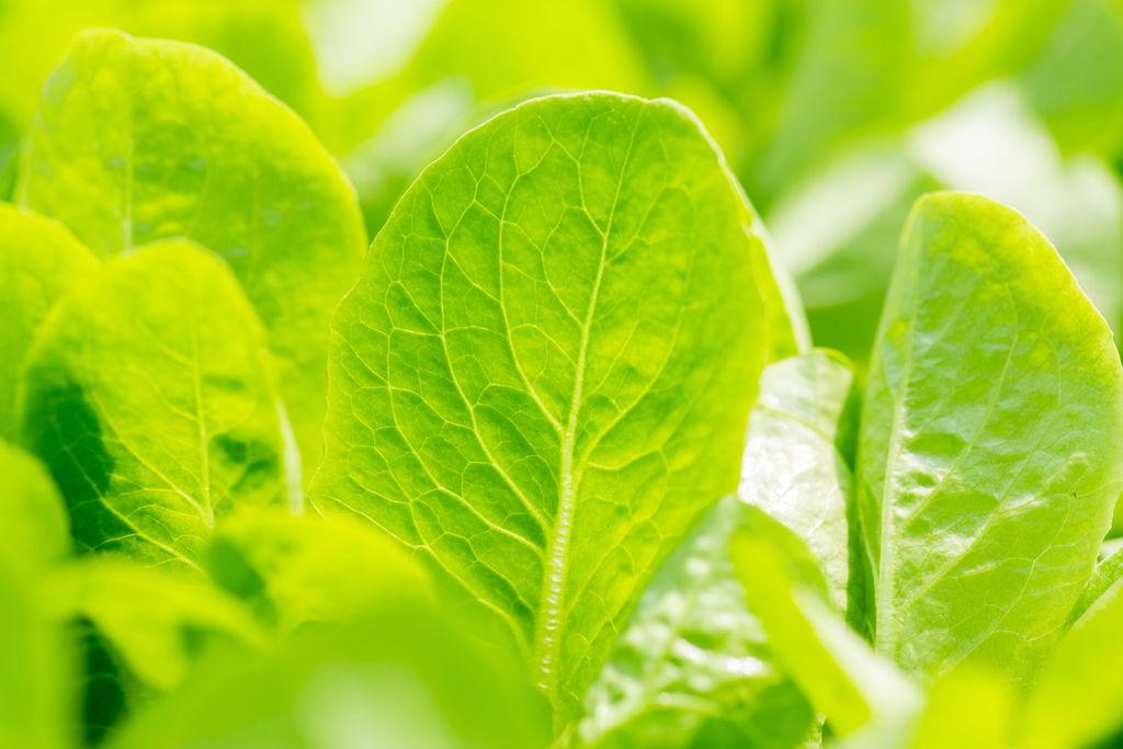 BrightFarms | Close Up Romaine Leaf | Green Bright Sunshine